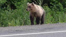 Wild hungry Kamchatka brown bear on roadside of asphalt road GIF