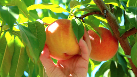 Appetizing peaches in plantation Footage