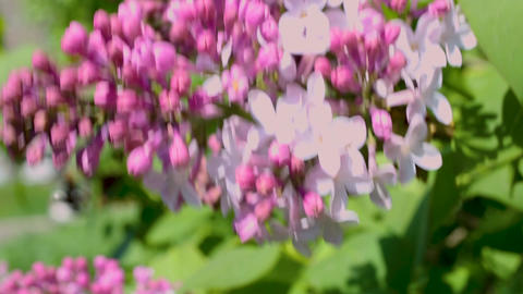 Macro video shooting motion blossoming cherry blossoms... Stock Video Footage