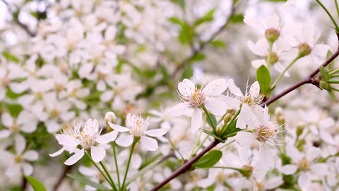 Macro video filming motion blossoming apple blossoms…, Live Action