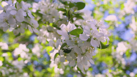 Macro video filming motion blossoming apple blossoms close-up Live Action