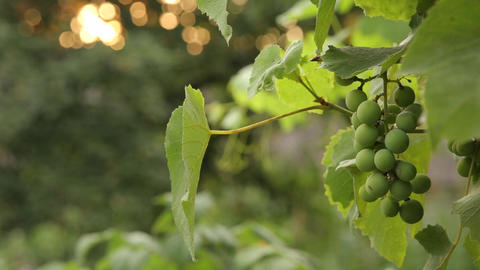 Sun through green leaves and branches of trees Footage