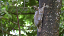 Sunda Colugo Flying Lemur On Tree In Langkawi, Malaysia stock footage