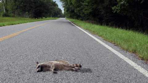 Road Kill With Raccoon Killed By Car On The Highway Footage