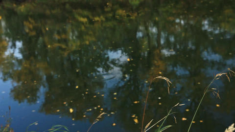 Yellow leaves fall to the surface of the river reflecting yellowing trees Footage