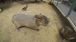 Big brown capybaras walking outdoors Stock Video Footage