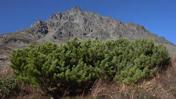 Bushes of evergreen Japanese stone pine or Siberian dwarf pine in tundra Footage
