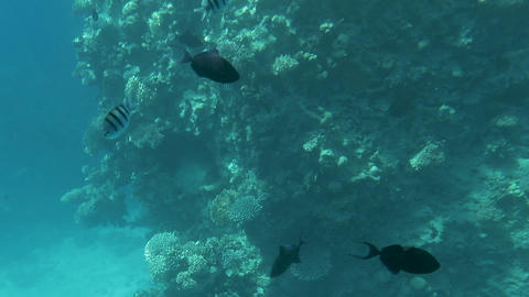 Tropical fish swim around a barrel sponge on a coral reef Footage