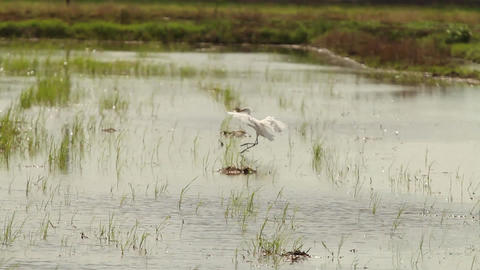 Egret Landing In Swamp stock footage