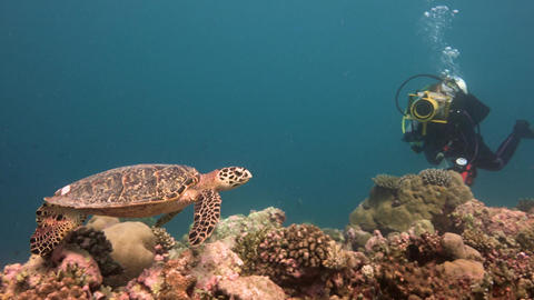 Underwater videographer shoots the Hawksbill turtle Live Action