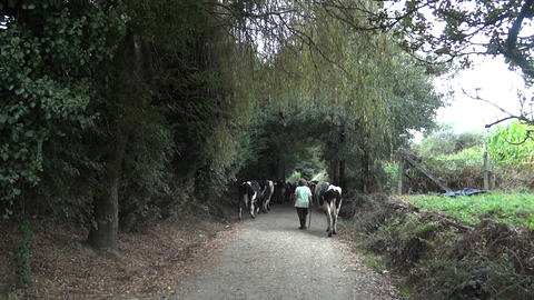 Herd of cows driven by a woman walking on a country road that travels and many p Footage