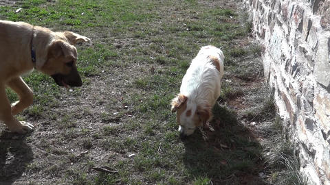 Two dogs are playing near a low wall fleeing in all directions 72b Footage