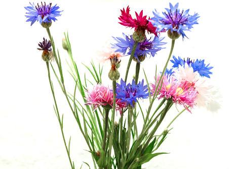 A bouquet of cornflowers Photo