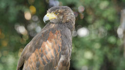 Harris's hawk. Bird of prey. Parabuteo unicinctus Live Action