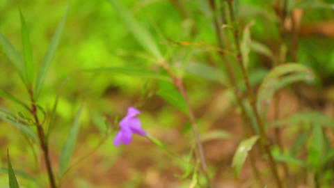 Ruellia Tuberosa Wild Garden Flowers Panning Camera Stock Video Footage