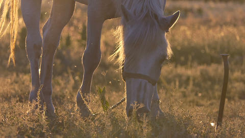 White horse shakes her mane during grazing in slow motion at sunset GIF