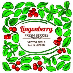 lingonberry plant vector ベクター
