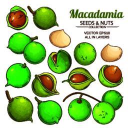 macadamia plant vector Vector