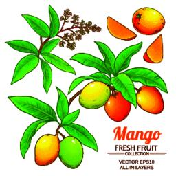 mango vector set Vector