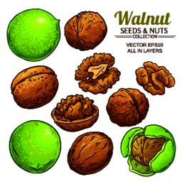 walnut plant vector Vector