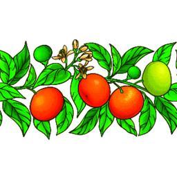 mandarin vector pattern Vector