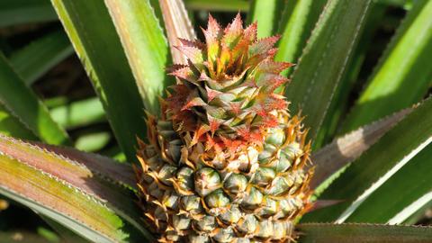 Pineapple growing on pineapple plant Footage