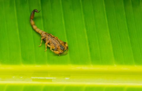 Scorpion Tityus Smithii Yellow Scorpion Green Background Photo