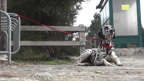 Dalmatian dog tied to his master with a red rope by a fence 79 Footage