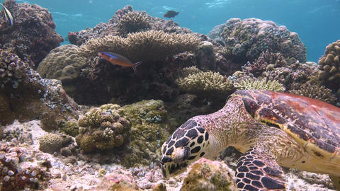 A Fascinating Dive With The Hawksbill Turtles. Turtle Having Lunch stock footage