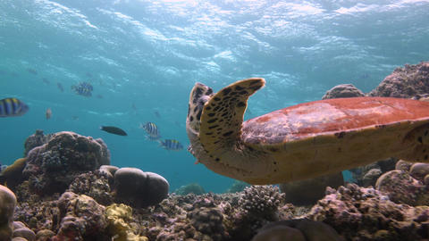 A Fascinating Dive With The Hawksbill Turtles. The Turtle Stretches Posing Under stock footage