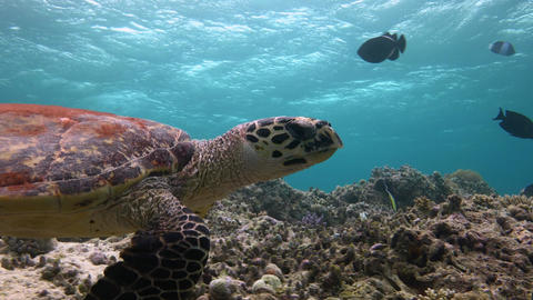 A fascinating dive with the Hawksbill turtles Footage