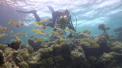 Underwater videographer shoots a flock of colorful tropical fish by the goatfish Footage