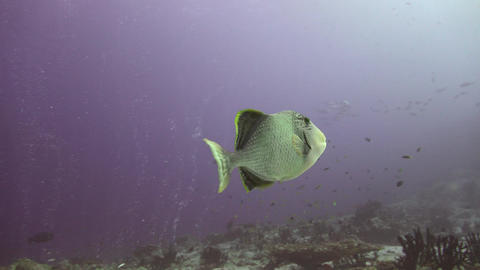 Trigger fish over the coral reef Footage