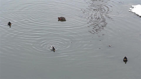 Ducks that swim and search for food on a lake with cold water because winter out Footage