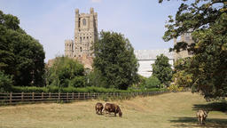 Cows grazing in a field Ely Cathedral Ely Cambridgeshire UK on a hot summers day GIF