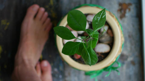 Avocado sprout in a pot on the windowsill. Comfort, bare feet on the windowsill Footage
