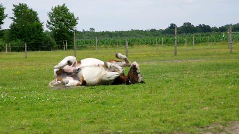 Pinto horse on farm Footage