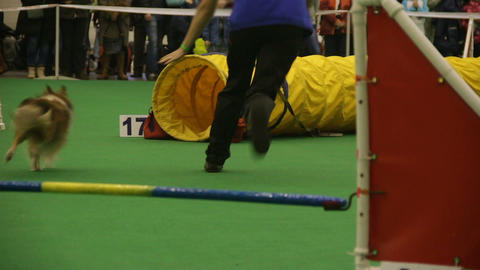 Animal agility, tiny pet running into tunnel at dog competition, training Footage