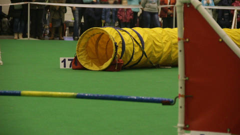 Active dog performing tricks at dog competition, animal agility, jumping pet Footage