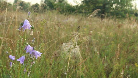 Bluebells in drops of dew. Flowers of campanula. Wildflowers at dawn Archivo