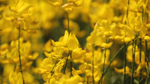 Yellow field flowers waving in wind in countryside field, nature, aromatherapy Footage