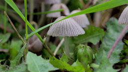 Close up of small grey ink cap mushrooms found in grass during the fall season. ビデオ