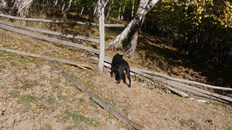 Hunter who starts tracking black dog who went into the woods after a deer sniffi Footage