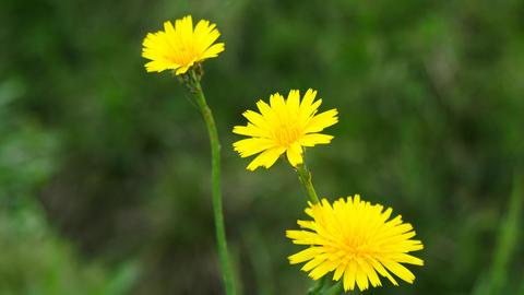 Three of dandelion Footage