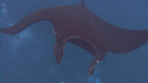 Great Dive With Large Manta Rays In Socorro Island In The Pacific Ocean Near Mex stock footage
