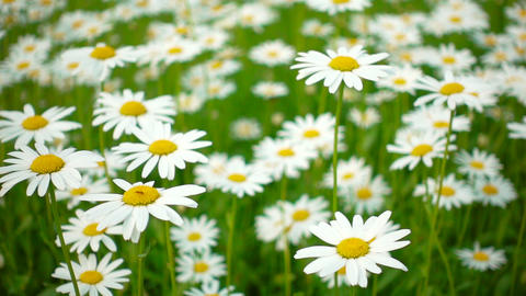 Meadow full of daisies on a summer day Live Action