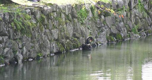 Black swan Footage