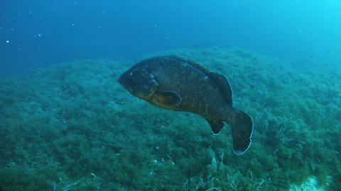 Marine life Grouper fish swimming Live Action