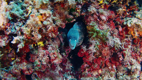 Wildlife underwater - Moray eel in a colourful Mediterranean sea reef Live Action