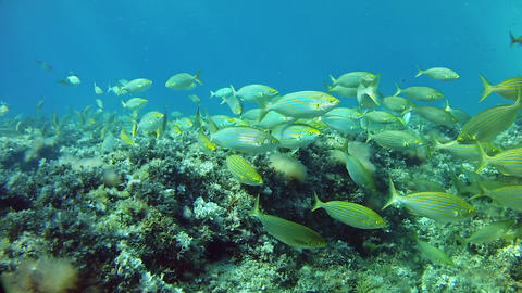Marine life - Salema fish shoal in a Mediterranean sea reef Live Action